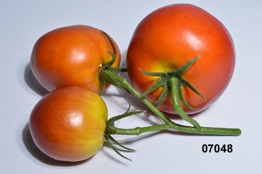 Tomatoes at the panicle